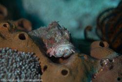 BD-161026-Pura-3010-Scorpaenopsis-oxycephala-(Bleeker.-1849)-[Caledonian-devilfish].jpg